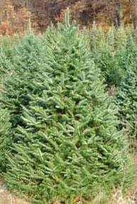 Ruff S Christmas Trees