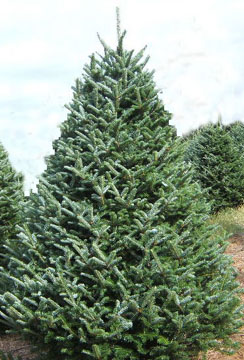 try a different type of tree we have a large selection of tree types fraser fir concolor fir douglas fir canaan fir turkish fir trees up to 12 tall - Type Of Christmas Trees